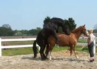 Big black horse fucks a brown pony