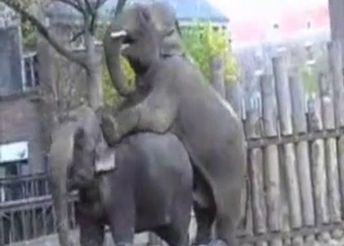 Indian elephants have insanely big cocks